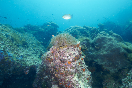 reef fish: reef coral and reef fish at Chomphon Thailand