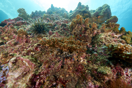 stony coral: Anemone,or Actinia home or clownfish, urticante marine animal Stock Photo