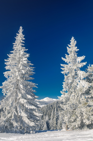 Winter landscape in mountains with fir Stock Photo