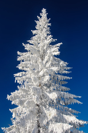 Fir tree and snow on blu sky background photo
