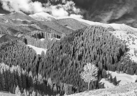 Lonely tree on the rime-covered in mountain. BW photo Stock Photo