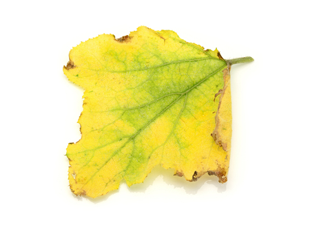 yellowing: Yellowing and dying pumpkin leaves on a white background