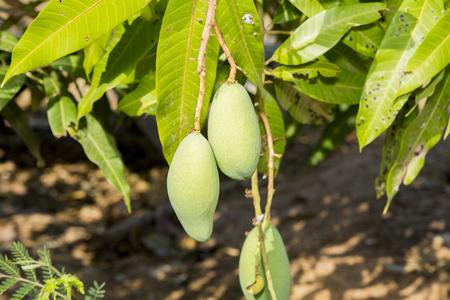 Closeup for green mango on tree