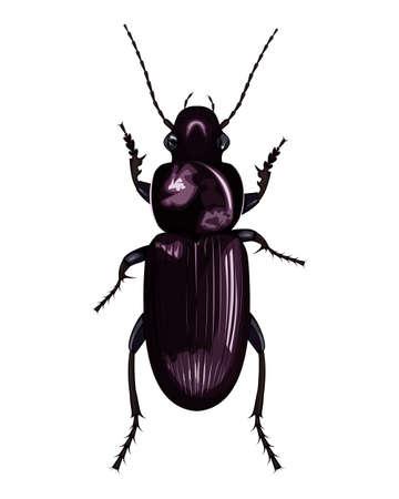 isolated image of ground beetle (Carabus) on white background