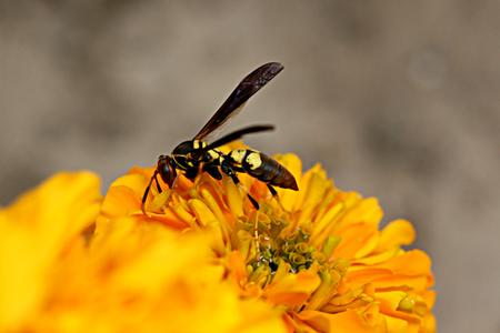 closeups: Wasp