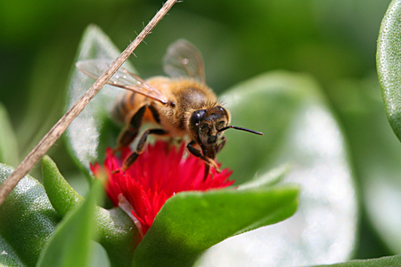 closeups: Honeybee