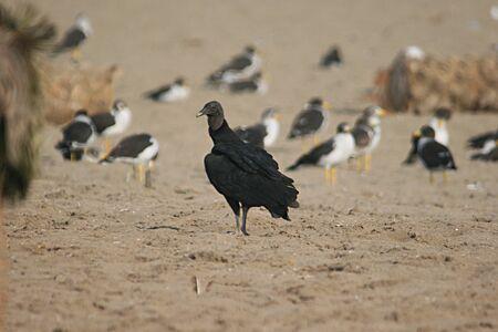 Peruvian Vulture Stock fotó