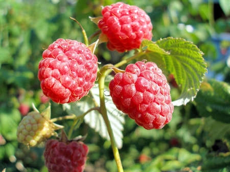 potherb: Frutos de una frambuesa