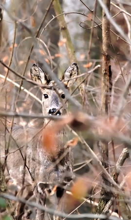 gaze: Sudden gaze of wild deer in forest Stock Photo