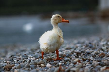 waddling: Duckling waddling away from me