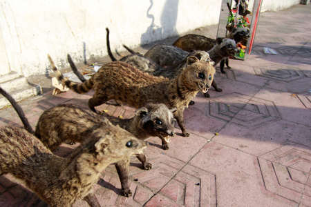 Various civet cats are deliberately preserved for decoration and are traded in the Malioboro area.