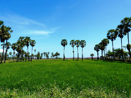 Paddy field with asian palmyra palm  sugar palm