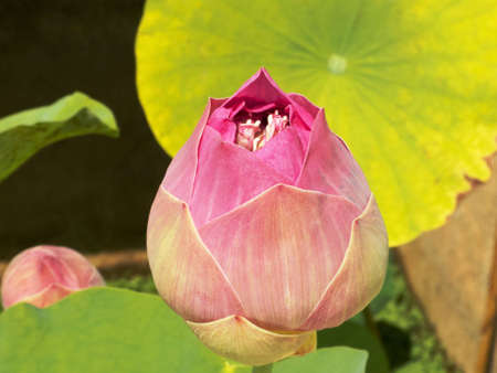 Lotus Flower in Thailand temple Stock Photo