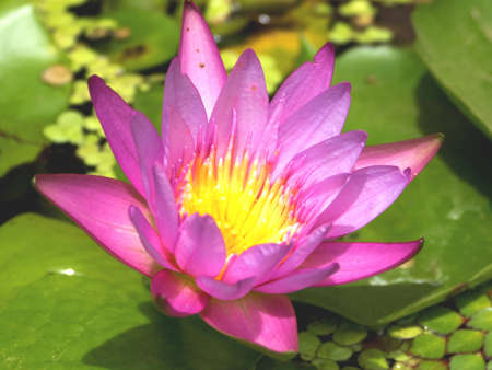 Lotus flower in a pond in Thailandaquatic