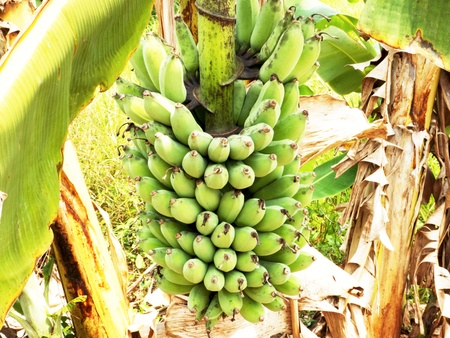 bunch of banana fruit growing on the tree
