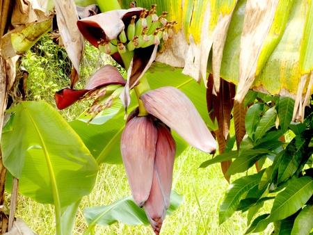 bunch of banana  and flower