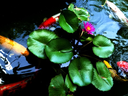 colorful koi swimming in a lotus pond  photo