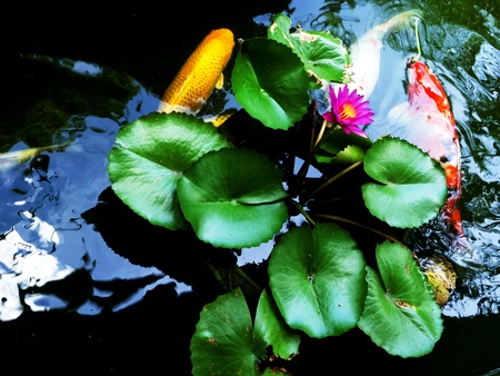 colorful koi swimming in a lotus pond  Stock Photo