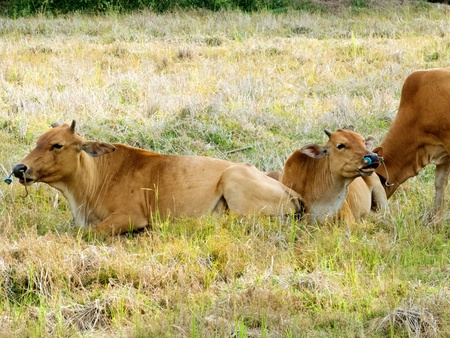cows and a calf are eating grass Stock Photo