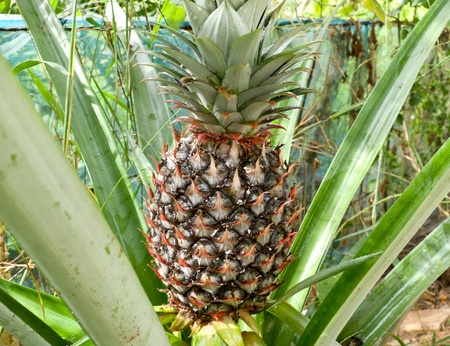 Green pineapple on the tree in framland