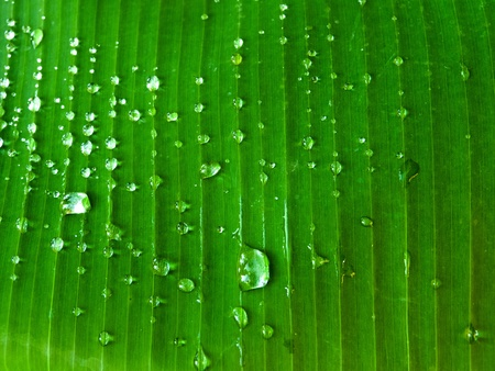 in the morning water drops on banana leaf Stock Photo - 13386038