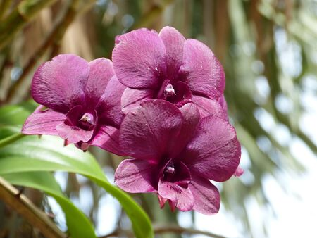 magenta orchids in garden Thailand photo