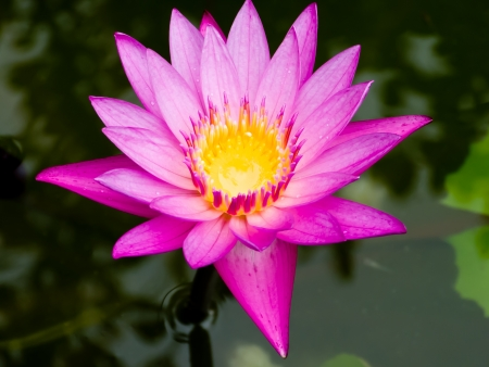 After the rain  lotus flower  blooming in the pool Stock Photo - 13646868