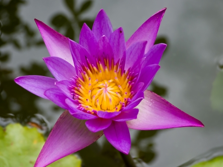 After the rain  lotus flower  blooming in the pool Stock Photo - 13646869