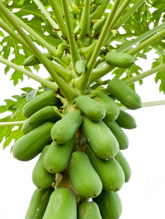 Holland Papaya    11-pointed leaves, stems, large green leaves with a center fin for a stem with green leaves and flowers into a bouquet of fruit Stock Photo - 13882303