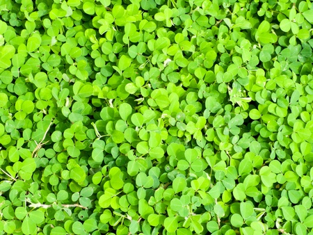 Clover is a low ground covering plant  Clover usually grows so that it it has three leaves as shown in this photo of a clover patch Stock Photo - 13895533