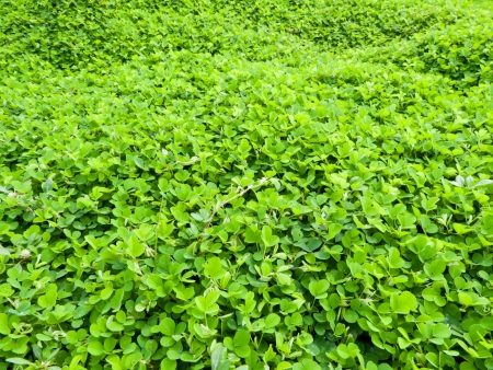 Clover is a low ground covering plant  Clover usually grows so that it it has three leaves as shown in this photo of a clover patch  photo