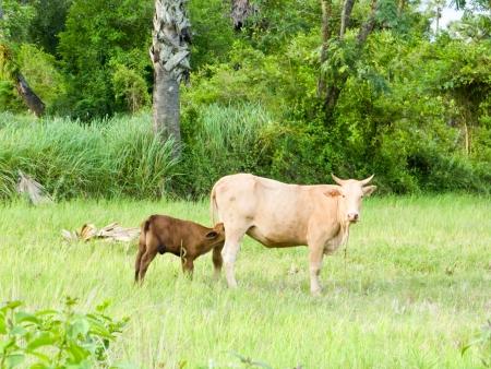 A calf sucking milk from a cow