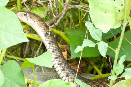 Snake slithering through the grass and hide in the green background photo