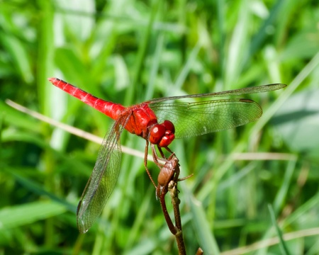 Red dragonfly on a branch with green background
