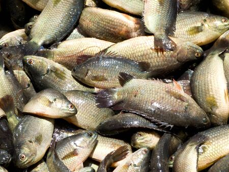 Fresh Fish in the market of Thailand it is Climbing gourami fish Stock Photo - 14075886