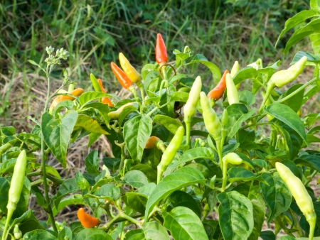 chili tree in the kitchen garden have colorful seed Stock Photo - 14075887
