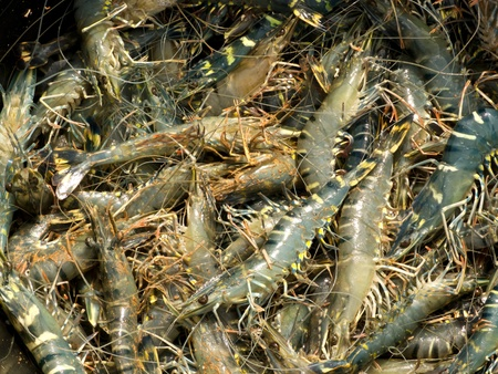Fresh shrimps in basket after harvest from a pond Stock Photo - 14075889