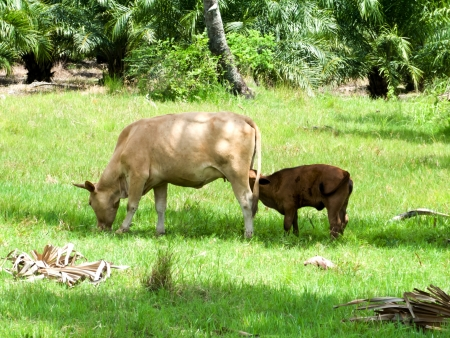 A calf sucking milk from a cow in the green meadow Stock Photo - 14172963