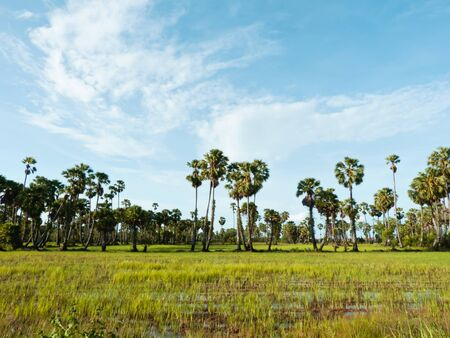Sugar palm tree in green field after harvest Stock Photo