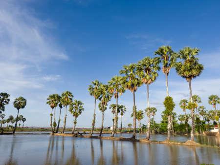 Sugar palm tree in the  field before transplant rice seedlings