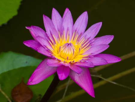 In afternoon lotus flower  blooming in the pool photo