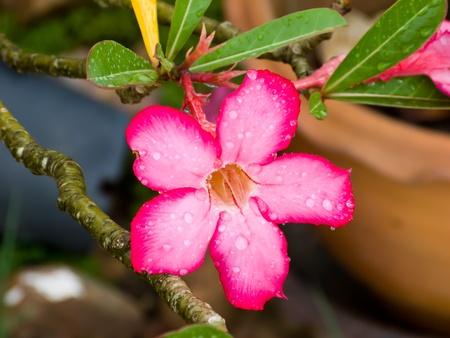 After rain water drop on a desert Rose flowers photo