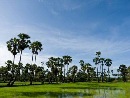 Sugar palm trees in the field ,thailand surrounded by lush green plants  Stock Photo - 14558020