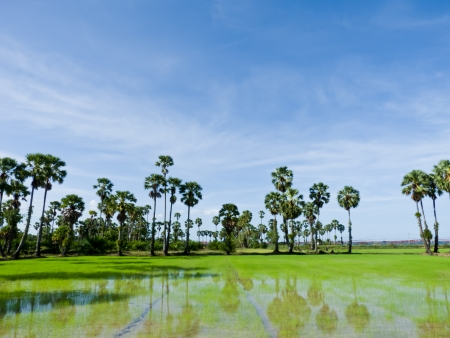Sugar palm trees in the field ,thailand surrounded by lush green plants  Stock Photo - 14558021
