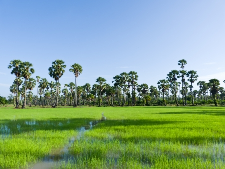 Sugar palm trees in the field ,thailand surrounded by lush green plants  photo
