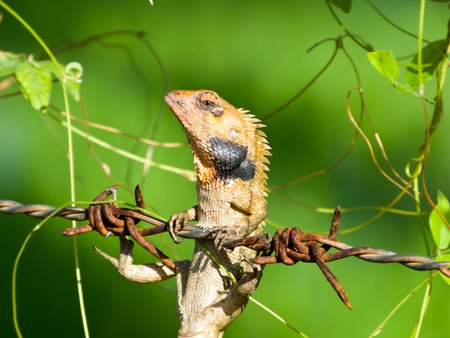 Chameleon hang by barbed wire over green background photo