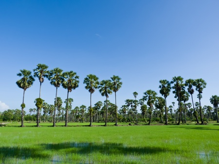 Sugar palm trees in the field ,thailand surrounded by lush green plants Stock Photo - 14558027