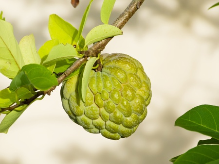 fruiting: Custard apple a small free fruiting tree suitable for home gardens