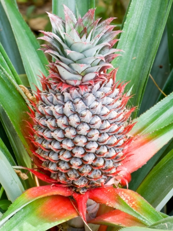 Pineapple planting in farm is tropical fruit