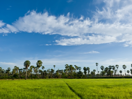 Sugar palm trees in the field ,thailand surrounded by lush green plants  Stock Photo - 15194523